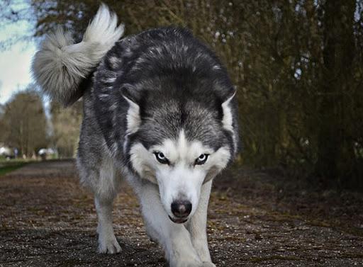 Chó Husky có phần hoang dã