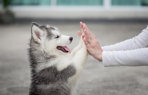 Husky hay cười