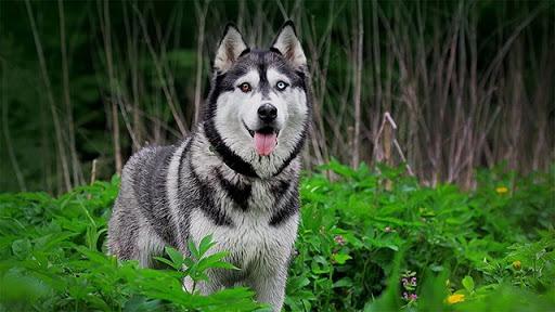 Chú chó Husky 2 màu mắt rất hiếm