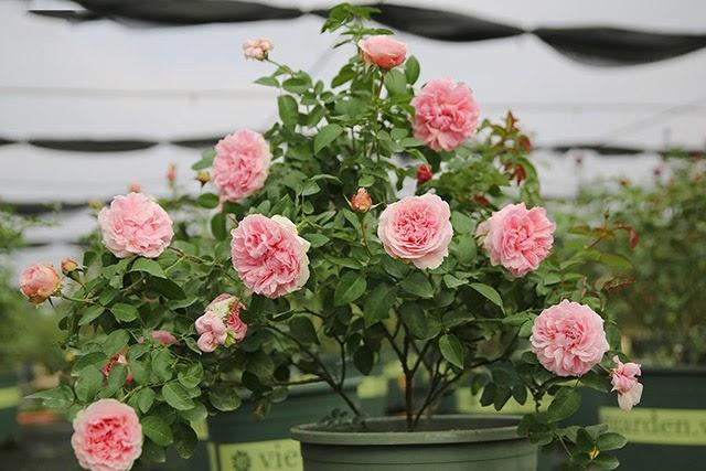 ý nghĩa phong thuỷ của Hoa hồng