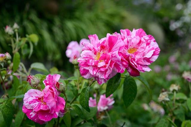 Nguồn gốc xuất xứ của hoa hồng