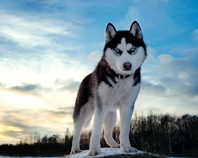 Husky Sibir